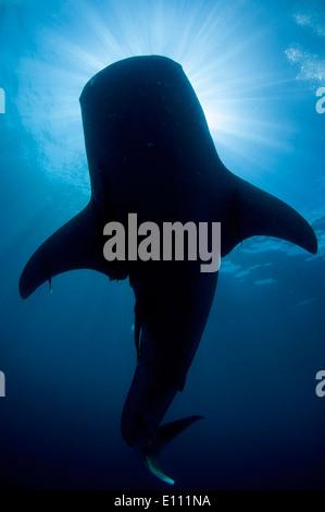Squalo Balena silhouette, Cenderawasih Bay, Nuova Guinea, Indonesia (Rhincodon typus) Immagini Stock