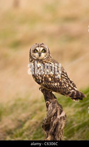 Corto-EARED OWL asio flammeus un adulto arroccato su un vecchio ceppo Galles del Nord, Regno Unito Immagini Stock