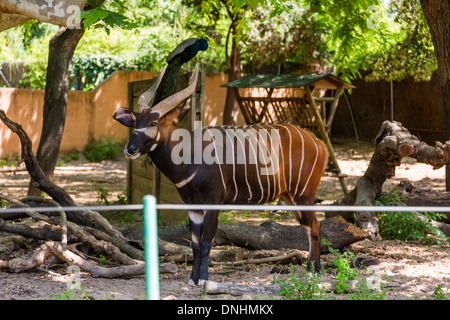 Bongo (Tragelaphus Eurycerus) in uno zoo, allo Zoo di Barcellona, Barcellona, in Catalogna, Spagna Immagini Stock