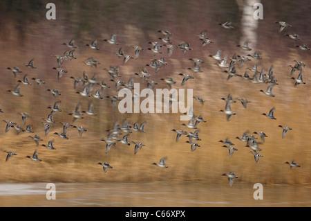 Alzavola Anas crecca un gregge di TEAL in volo (sfumata per illustrare il movimento) Yorkshire, Regno Unito Immagini Stock