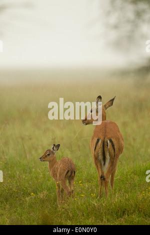 Impala madre con bambino sotto la pioggia, Lago Nakur National Park, Kenya (Aepyceros melampu) Immagini Stock