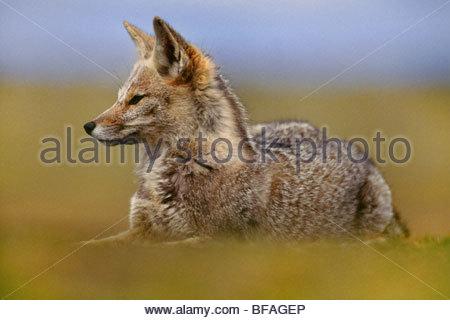 Nasello di Patagonia fox in appoggio, Pseudalopex griseus e Tierra del Fuego, Cile Immagini Stock