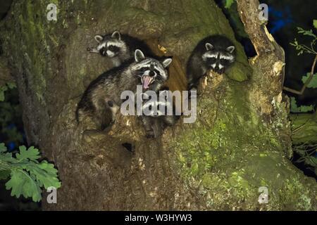 Procioni (Procione lotor), fulvo con tre giovani animali nella parte anteriore del loro albero grotta, Hesse, Germania Immagini Stock