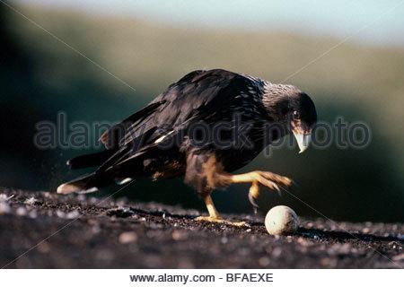 Caracara striato il prelievo di uovo, Phalcoboenus australis, Isole Falkland Immagini Stock