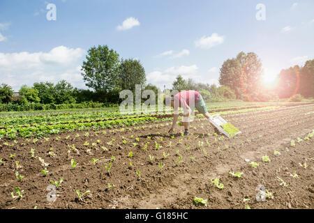 Agricoltore di piantare le piantine in azienda agricola biologica Immagini Stock