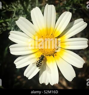Un fly posatoi su un Daisy bianca in Prado del Rey, Sierra de Grazalema, Spagna Immagini Stock