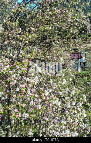 Apple alberi da frutto, Harsil, Uttarakhand, India, Asia Immagini Stock