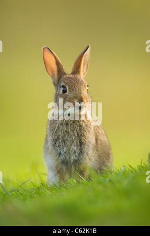 Coniglio oryctolagus cuniculus gli ultimi raggi di luce della sera un coniglio giovane avviso si siede vicino alla Immagini Stock