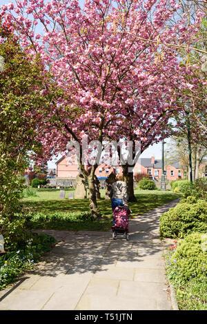 Hucknall chiesa in Spring Lady camminare sotto rosa ciliegio. Immagini Stock