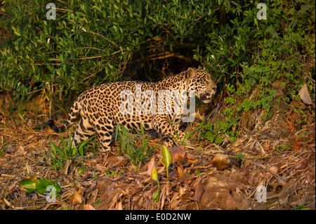 Maschi selvatici Jaguar stalking nel tardo pomeriggio della luce del sole. Cuiaba River, Pantanal del Nord, Brasile. Immagini Stock