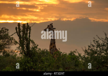 La Rothschild Giraffe (Giraffa camelopardalis rothschildi), Murchison Falls National Park, Uganda Immagini Stock