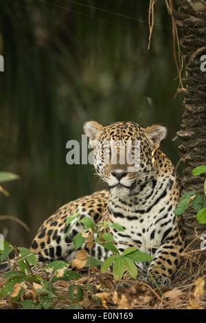 Jaguar lungo il fiume, Pantanal, Brasile, Sud America (Panthera onca) Immagini Stock