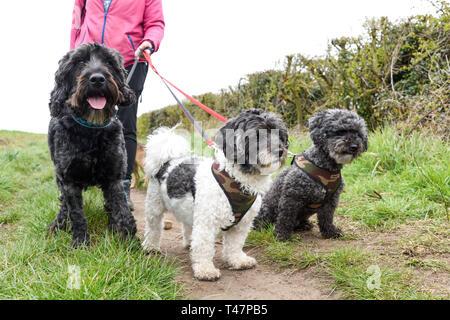 Dog Walker e selezione di cani beening esercitato. Immagini Stock