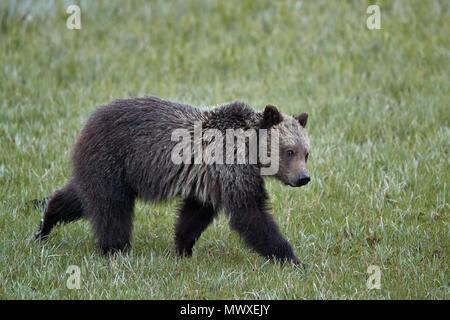 Orso grizzly (Ursus arctos horribilis), yearling cub, il Parco Nazionale di Yellowstone, Wyoming negli Stati Uniti d'America, America del Nord Immagini Stock