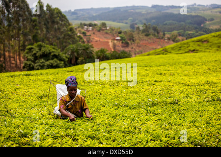 Donna tea plucker picking Fairtrade tea in un lussureggiante piantagione di tè in Malawi, Africa Immagini Stock