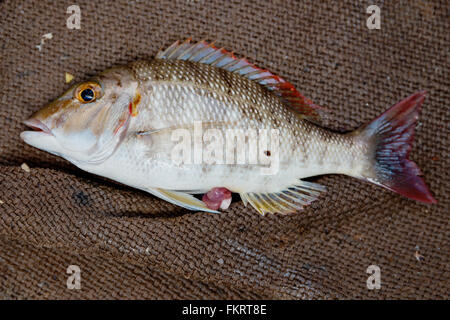 Crimson snapper è un delizioso pesce e altamente considerato nell isola di Zanzibar. Immagini Stock