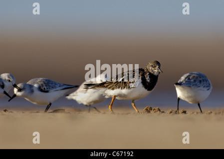 TURNSTONE Arenaria interpres un adulto rovistando tra sanderlings. Gennaio. Lincolnshire, Regno Unito fotografo.Andrew Immagini Stock
