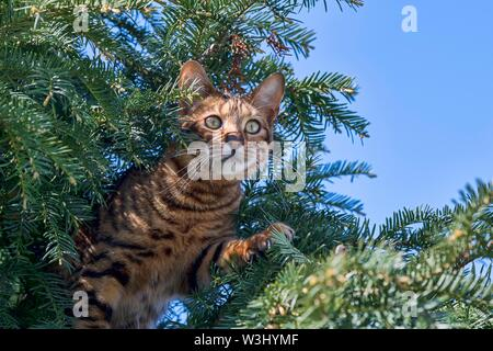 Toyger Breedcat (Felis silvestris catus), femmina, 8 mesi, marrone sgombro, siede attentamente in yew, caccia, Austria Immagini Stock