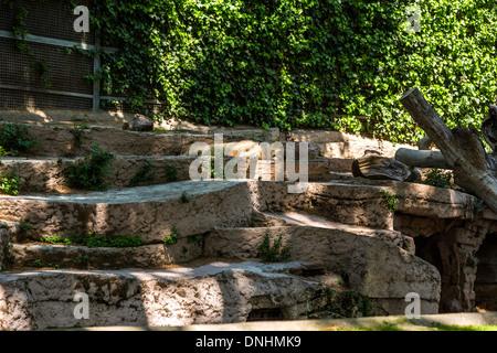 Lion (Panthera leo) dormire nel giardino zoologico, allo Zoo di Barcellona, Barcellona, in Catalogna, Spagna Immagini Stock