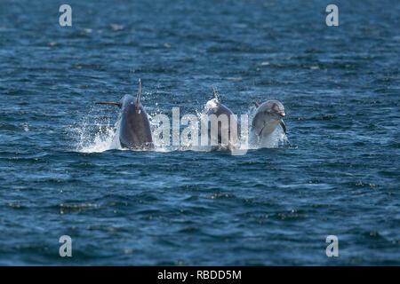 INVERNESS, SCOTLAND: Tre delfini tursiopi gara attraverso le acque al punto Chanonry vicino a Inverness, Scotland. Tre divertimento-amoroso delfini mettere su un impressionante display per a curiosi come hanno violato e capovolto attraverso le acque di Chanonry Point nei pressi di Inverness. Il tursiope compreso il miele, un giovane undici anni mamma e due ragazzi può anche essere visto nuotare in perfetto unisono, apparendo a gara ogni altro attraverso l'acqua nelle Highlands della Scozia. WDC / Charlie Phillips / mediadrumworld.com Immagini Stock