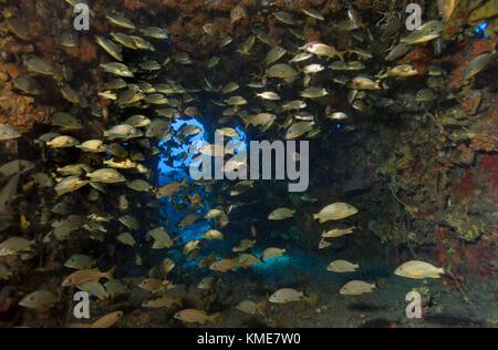 La scolarizzazione pesce trovare rifugio nel ponte dell'USCG duane. Immagini Stock