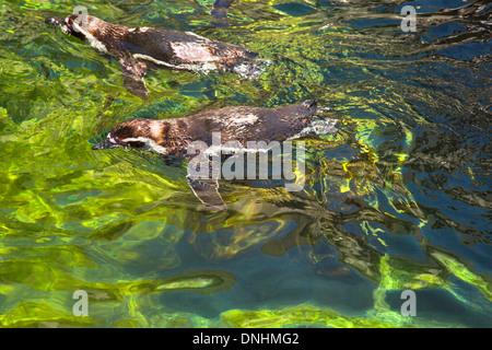 Angolo di alta vista dei pinguini Humboldt (Spheniscus Humboldt) nuotare in un laghetto, allo Zoo di Barcellona, Barcellona, in Catalogna, Spagna Immagini Stock