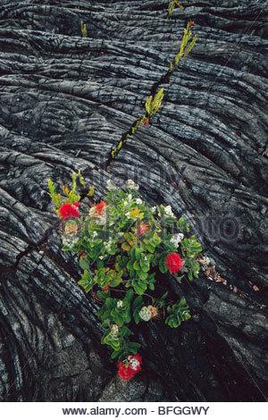 'Ohi'a lehua che fiorisce in pietra lavica, Metrosideros polymorpha, Parco Nazionale dei Vulcani delle Hawaii, Immagini Stock