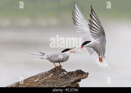 Tern comune (Sterna hirundo) estate piumaggio coppia, femmina in piedi sul log, volanti maschio, in bilico per passare il pesce a femmina, il Delta del Danubio, Romania, Giugno Immagini Stock