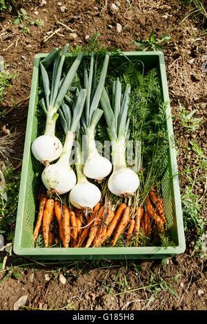 Cassa di cipollotti e carotine in azienda agricola biologica Immagini Stock