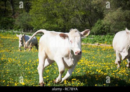 Le mucche in esecuzione sul prato Immagini Stock