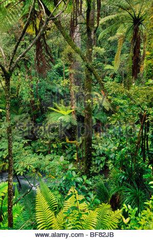 Foresta Podocarp, Whirinaki Conservation Park, Nuova Zelanda Immagini Stock