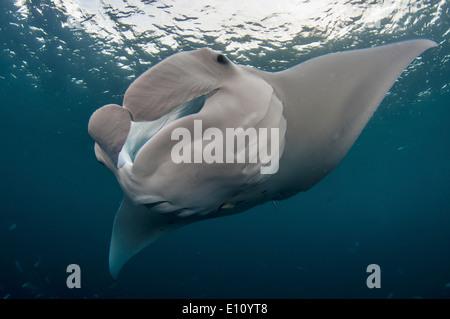 Manta ray, Palau (Manta birostris) Immagini Stock