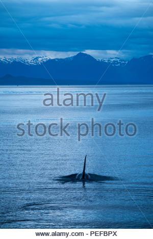Una balena killer o Orca in rettilineo ghiacciato al tramonto. Immagini Stock