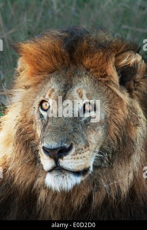 Maschio di leone, Serengeti, Tanzania (Panthera leo) Immagini Stock