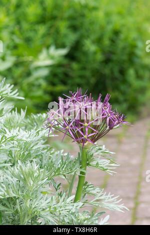 Allium cristophii. Stella della Persia fiore in un giardino inglese confine Immagini Stock