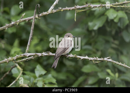 Spotted Flycatcher Immagini Stock
