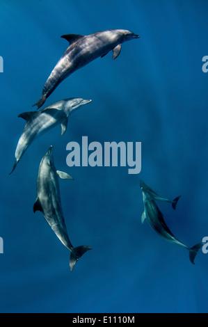 I delfini vicino alla superficie, Egitto (Tursiops truncatus) Immagini Stock
