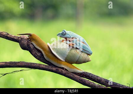 Iavan raganella sulla parte superiore di una lumaca, Indonesia Immagini Stock