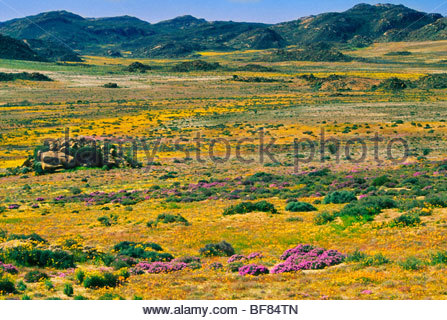 Fiori Selvatici, Goegap Riserva Naturale, Sud Africa Immagini Stock