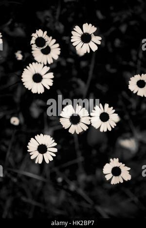 Vista dall'alto di fiori da giardino. In bianco e nero la natura particolare. Immagini Stock