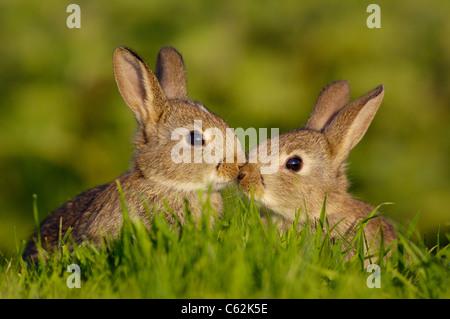 Coniglio oryctolagus cuniculus una coppia di conigli giovani o gattini, toccare brevemente nasi in un toccante momento Immagini Stock