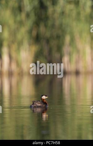 Red-Necked svasso (Podiceps grisegena) adulto, allevamento del piumaggio, nuoto, il Delta del Danubio, Romania, Giugno Immagini Stock