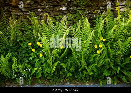 Regno Unito; Cumbria; Hawkshead; Near Sawrey; Seo ponte; strada felci e il giallo papavero cresce su Vicolo del paese orlo Immagini Stock