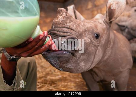 Bianco bambino orfano rinoceronte (Ceratotherium simum) essendo alimentato a Lewa Wildlife Conservancy.Kenya Immagini Stock