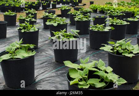 Central Florida home organico giardino verde con piante di fagiolo e verdure in cortile per una sana dieta e mangiare Immagini Stock