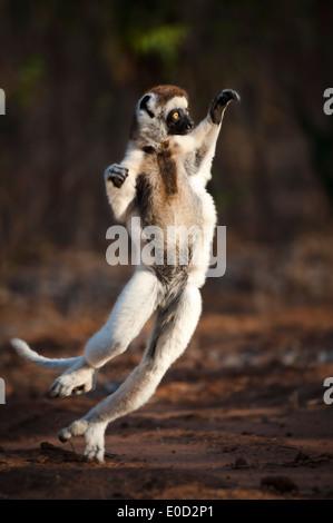 Adulto di Verreaux Sifaka dancing/saltando, Berenty Riserva, Madagascar (Propithecus verreauxi) Immagini Stock