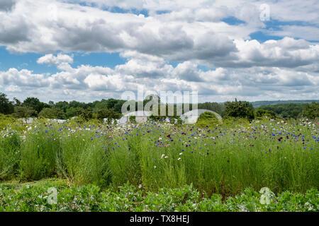 Centaurea cyanus. Cornflowers coltivate per i fiori recisi a Daylesford fattoria organica summer festival. Daylesford, Cotswolds, Gloucestershire, Inghilterra Immagini Stock