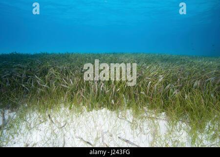 Vista subacquea di piante fanerogame bed Immagini Stock