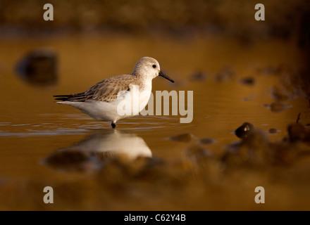 SANDERLING Calidris alba un adulto rovistando in una poco profonda laguna costiera di Norfolk, Regno Unito Immagini Stock