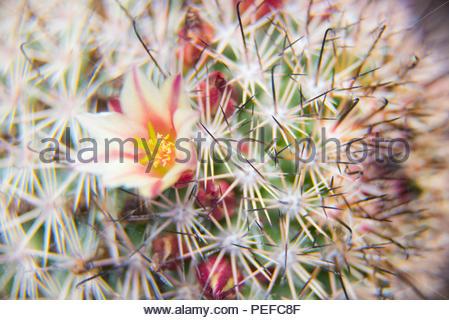 Un cactus in fiore. Immagini Stock